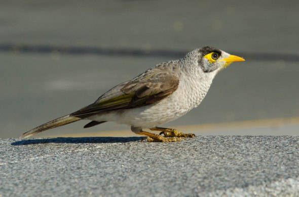 A noisy miner prepares to take off in South Bank, Brisbane on August 1, 2014