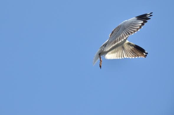 Seagull in Brisbane